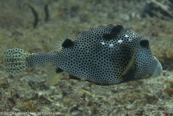 BD-101213-Playa-del-Carmen-3106-Lactophrys-bicaudalis-(Linnaeus.-1758)-[Spotted-trunkfish].jpg
